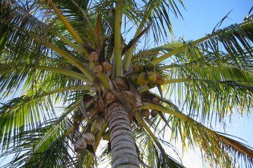 Su último abrazo: una mata de coco