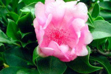 Siembran Rosa de Bayahibe en Día del Medio Ambiente
