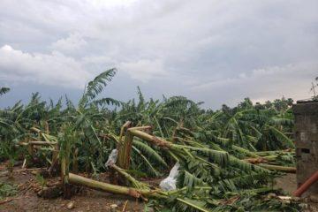 Tornado afecta plantación de bananos, viviendas y centro de atención primaria en Montecristi